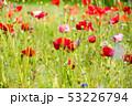 ポピー 花 花畑の写真 53226794