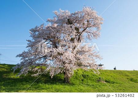 京都府木津川市の一本桜 河川敷 春 2019年4月 53261402