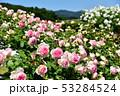 薔薇園 53284524