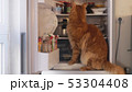 Cute red Maine Coon cat looking for food inside domestic fridge 53304408
