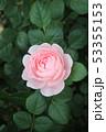 薔薇 53355153