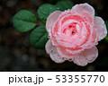 薔薇 53355770