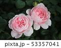 薔薇 53357041