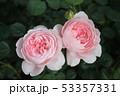 薔薇 53357331