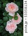 薔薇 53358134