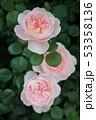 薔薇 53358136