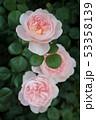 薔薇 53358139