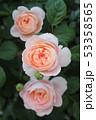薔薇 53358565