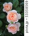 薔薇 53358569