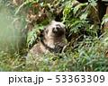 ホンドタヌキ 狸 イヌ科の写真 53363309