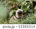 ホンドタヌキ 狸 イヌ科の写真 53363314