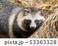 ホンドタヌキ 狸 イヌ科の写真 53363328