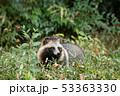 ホンドタヌキ 狸 イヌ科の写真 53363330