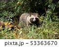 ホンドタヌキ 狸 イヌ科の写真 53363670