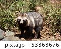 ホンドタヌキ 狸 イヌ科の写真 53363676