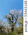 桜 春 広瀬町の写真 53443188