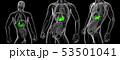 おなか 腹 腹部のイラスト 53501041