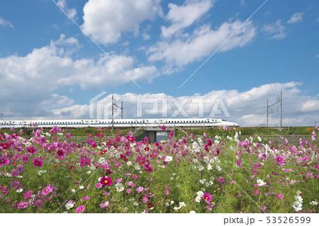コスモス畑と新幹線 53526599
