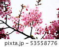 桜 河津桜の花 53558776