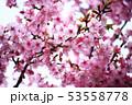 桜 河津桜の花 53558778