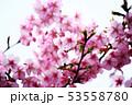 桜 河津桜の花 53558780