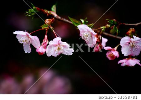 桜 河津桜の花 53558781