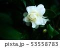 雨上りに咲く、白い椿の花 53558783