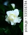 雨上りに咲く、白い椿の花 53558784