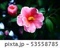 雨上りに咲く、紅い椿の花 53558785