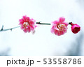 梅 淡紅色の花 53558786