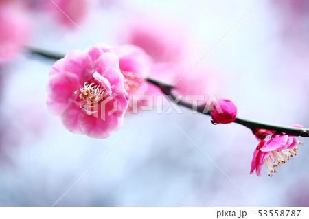 梅 淡紅色の花 53558787
