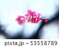梅 淡紅色の花 53558789