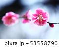 梅 淡紅色の花 53558790