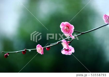 梅 淡紅色の花 53558793
