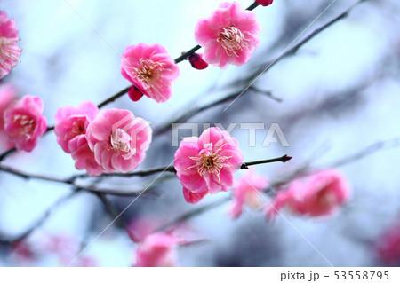 梅 淡紅色の花 53558795