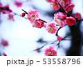 梅 淡紅色の花 53558796