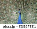 孔雀 インド孔雀 求愛 53597551