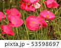 ポピー 雛芥子 虞美人草の写真 53598697