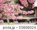 三十三間堂の河津桜 53606024
