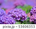 紫陽花 アジサイ あじさいの写真 53606353