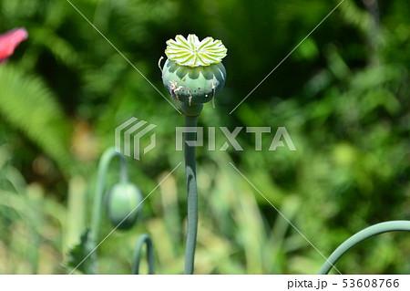 ケシの花 53608766