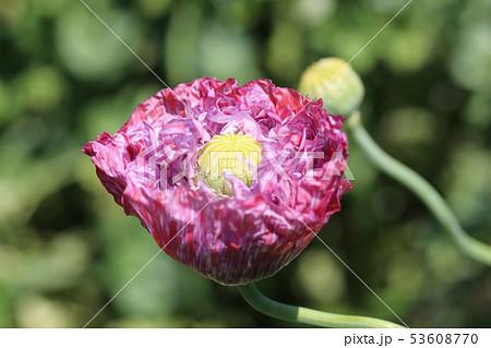 ケシの花 53608770