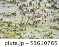 タシギ 野鳥 鳥の写真 53610765