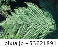 シダ 葉 植物の写真 53621891