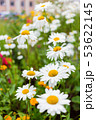Lawn with blooming daisies. Flower bed in town. 53622145