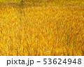 小麦畑 小麦 麦の写真 53624948