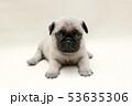 パグ 子犬 53635306