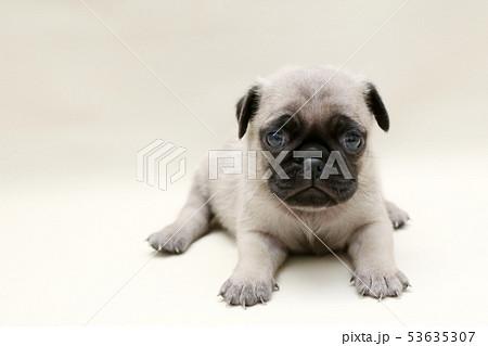 パグ 子犬 53635307