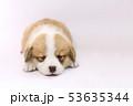 コーギー 子犬 53635344