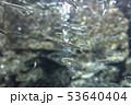さけの稚魚(群泳) 53640404